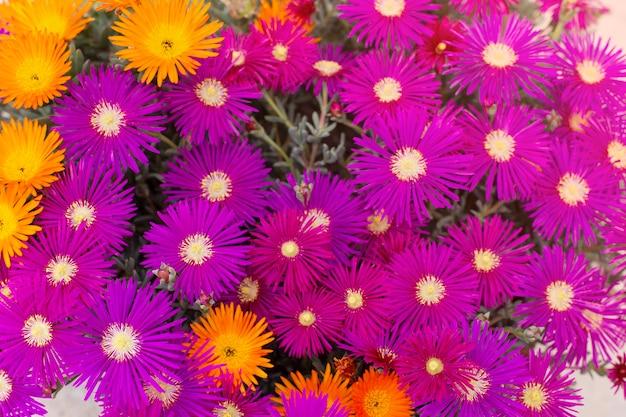 Fioletowe i pomarańczowe kwiaty chryzantemy, lato w tle