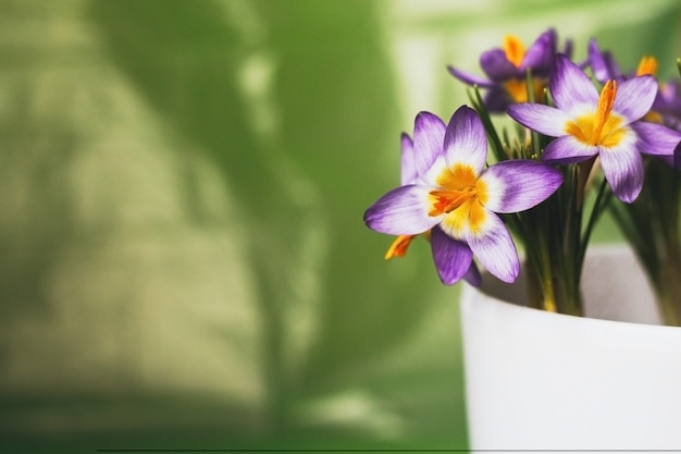 Fioletowe krokusy w doniczce na zielonym rozmytym tle