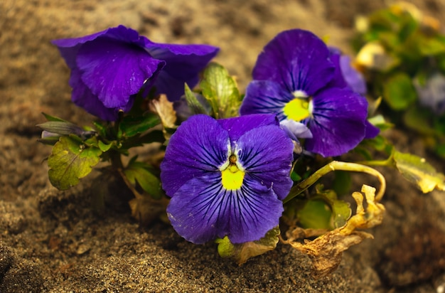 Fioletowe kwiaty altówki