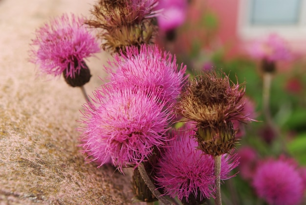 Fioletowe kwiaty arctium jako naturalne tło. kwiaty łopianu kwitną na świeżym powietrzu. flora i przyroda. naturalne piękno. sezon wiosenny lub letni.
