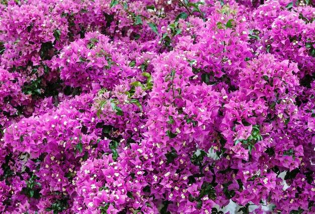 Fioletowe kwiaty bougainvillea zbliżenie (tło natura)