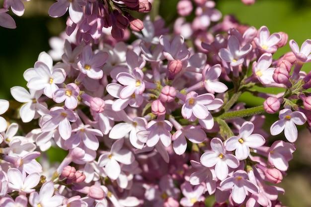 Fioletowe kwiaty bzu w roku wiosennym