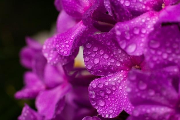 Fioletowe kwiaty floksa (floks paniculata) z kroplami wody. makro