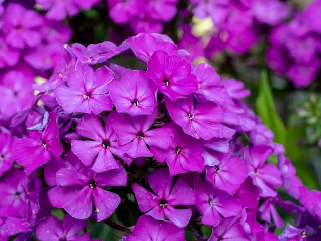Fioletowe kwiaty floksa. kwitnący floks ogrodowy, wieloletni lub letni floks w ogrodzie w słoneczny dzień