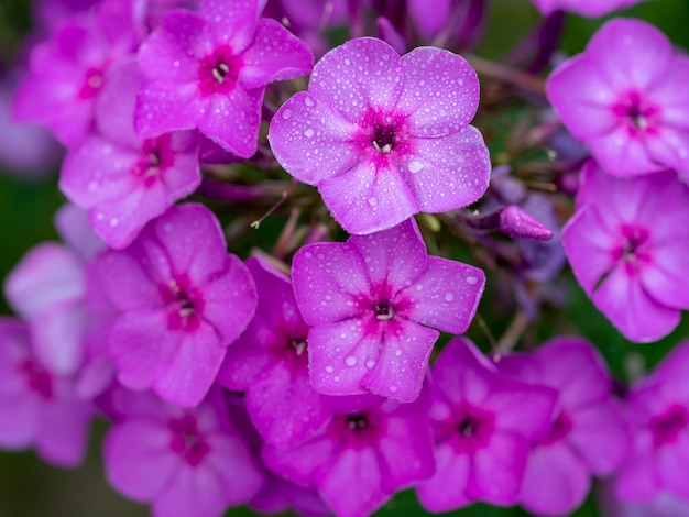 Fioletowe kwiaty floksa.