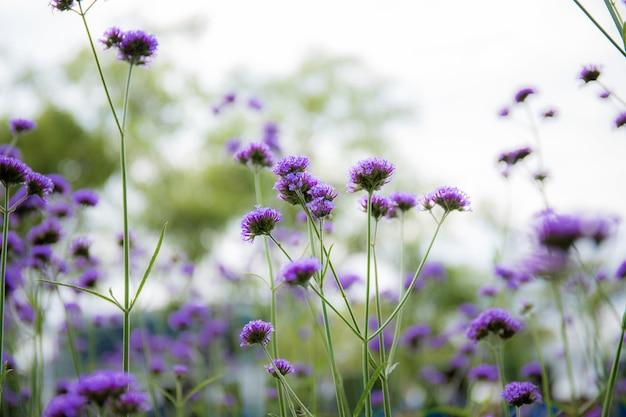 Fioletowe kwiaty głowy z pięknym zimą na niebie.