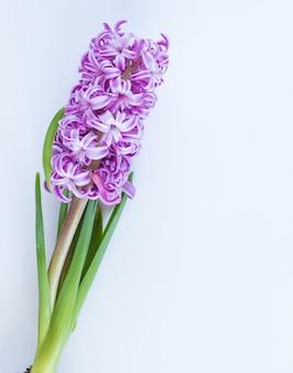 Fioletowe kwiaty hiacyntu