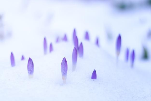 Fioletowe kwiaty i śnieg