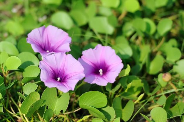 Fioletowe kwiaty i zielona trawa na plaży na sri lance