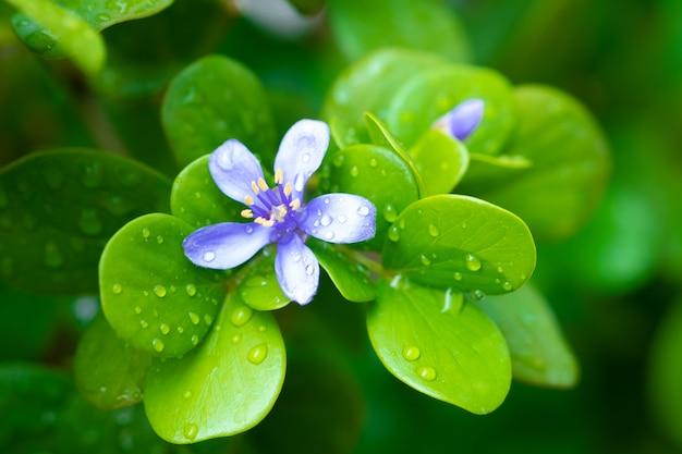 Fioletowe kwiaty. kaeo chao chom, lignum vitaetree