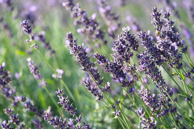 Fioletowe kwiaty lawendy rosnące na tle zbliżenie pola
