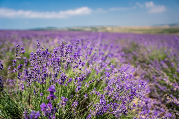 Fioletowe kwiaty lawendy w dużym polu w słoneczny dzień