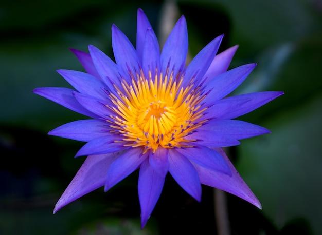 Fioletowe kwiaty lotosu w stawie lotosu dla rolnictwa
