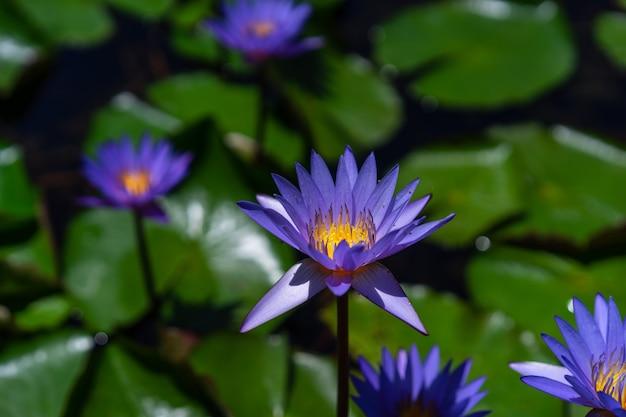 Fioletowe kwiaty lotosu z zielonymi liśćmi w stawie