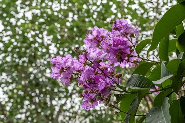 Fioletowe kwiaty mirtu z krepa otoczone są zielonymi liśćmi