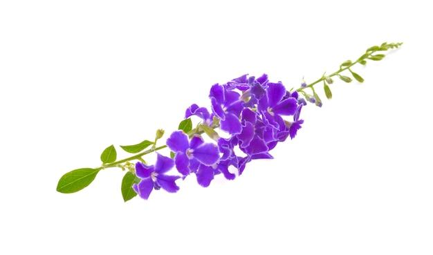 Fioletowe kwiaty na białym tle