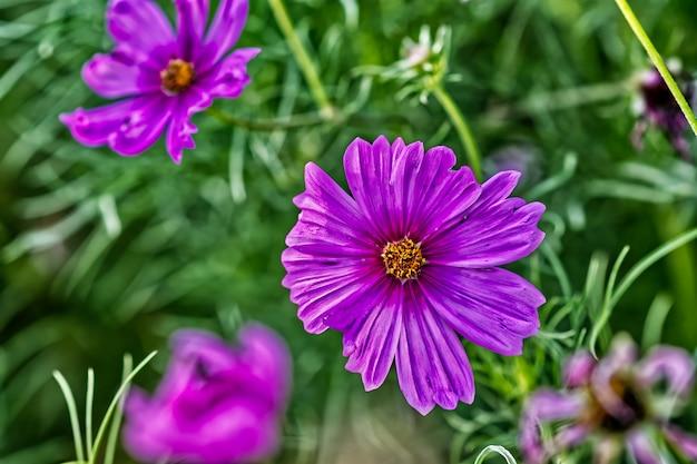 Fioletowe kwiaty obok siebie otoczone zieloną trawą