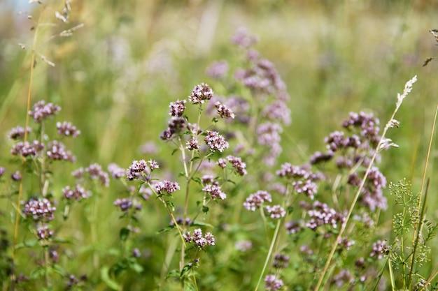 Fioletowe kwiaty origanum vulgare lub oregano pospolitego, majeranek dziki. słoneczny dzień