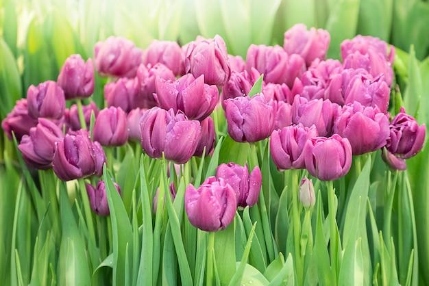 Fioletowe kwiaty tulipanów kwitną na tle świeżych zielonych liści z rozmytym światłem słonecznym w wiosennym ogrodzie