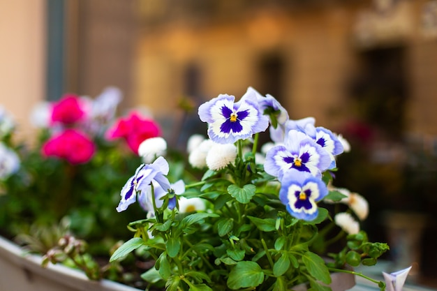 Fioletowe kwiaty w doniczce na parapecie.