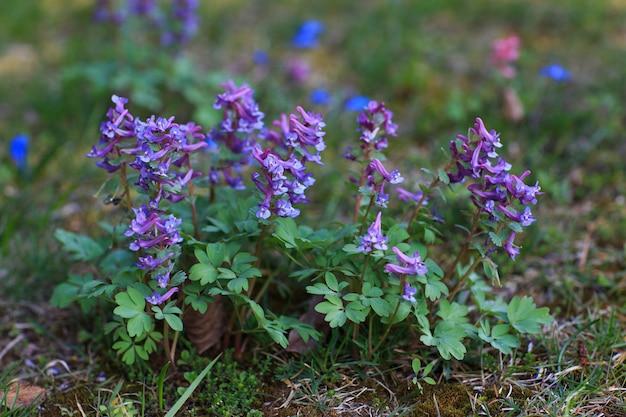 Fioletowe kwiaty w ogrodzie