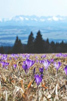 Fioletowe kwiaty w polu na montains