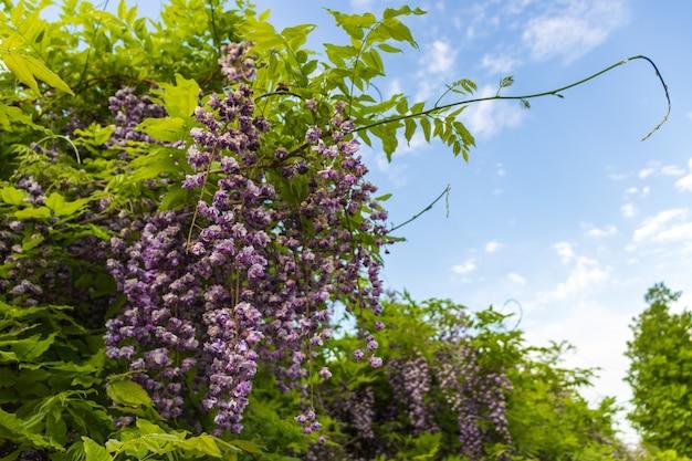 Fioletowe kwiaty wistarii z bliska na wiosnę