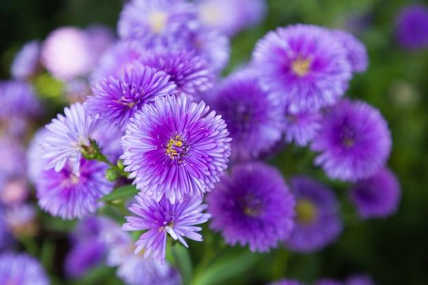 Fioletowe kwiaty włoskich astrów, michaelmas daisy (włoski starwort, fall aster, fioletowy kwiat)