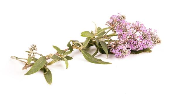 Fioletowe kwiaty z buddleia (butterfly bush) na białym tle