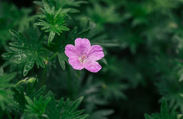 Fioletowe kwiaty z kroplami deszczu w letnim ogrodzie.