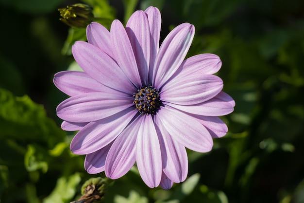 Fioletowe kwitnienie osteospermum w angielskim ogrodzie w ostatni dzień lata