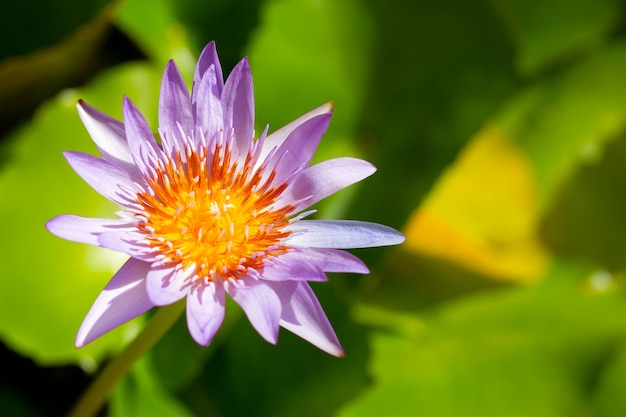 Fioletowe lilie wodne, fioletowy lotos kwitnący w stawie. kolorowy ogród kwiatowy