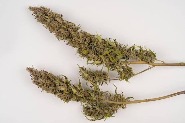 Fioletowe pąki marihuany na białym stole suszone pąki marihuany zdjęcia stockowe