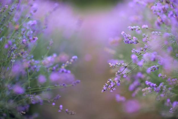 Fioletowe plamy na kwitnącym lawendowym polu