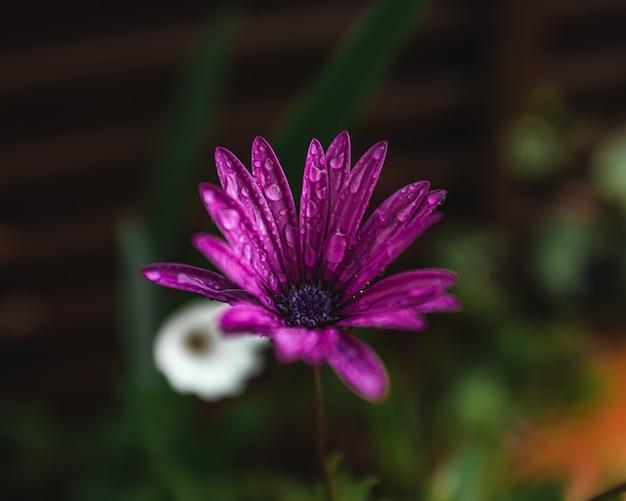Fioletowe płatki kwiatów z kroplami deszczu