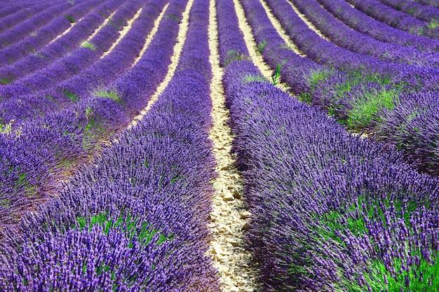 Fioletowe pola kwitnących kwiatów lawendy w prowansji we francji