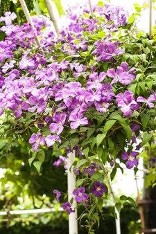 Fioletowe powojniki na łuku w ogrodzie