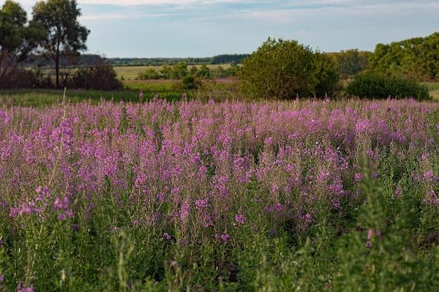Fioletowe różowe kwiaty bzu wierzbownicy na tle pola kwiatowego fireweed, słoneczne lato na łące, chamaenerion angustifolium