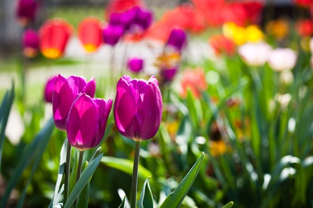 Fioletowe tulipany na kwietniku zbliżenie