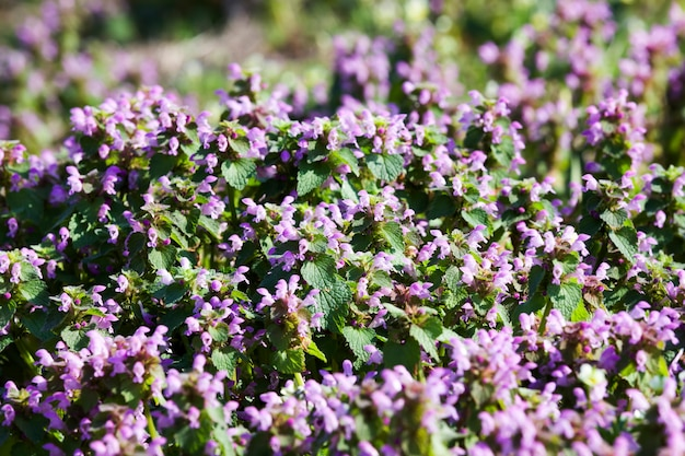 Fioletowe z nasionami dzikie kwiaty na polu z zieloną trawą, wiosną lub latem