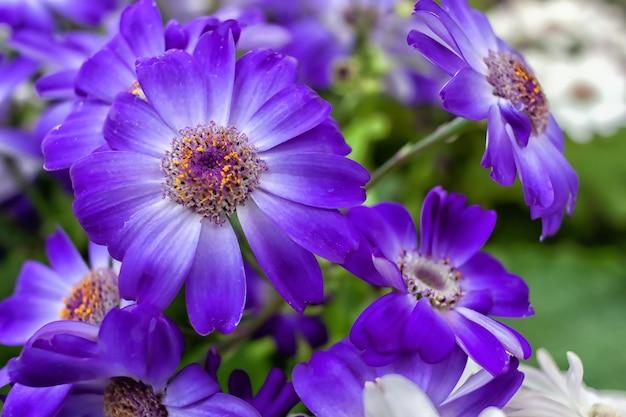 Fioletowo-białe kwiaty cynerarii kwitną na kwietniku w ogrodzie