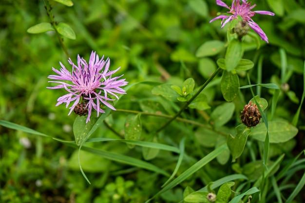 Fioletowo-różowy stokes aster stokesia laevis kwiat