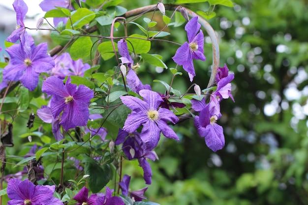 Fioletowoniebieskie kwiaty powojników wielkokwiatowych w ogrodzie botanicznym