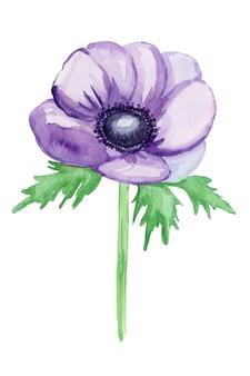Fioletowy anemon, szkic. akwarela ilustracja, rysowane ręcznie.