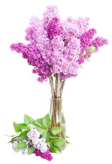 Fioletowy bzu świeże kwiaty w wazonie na białym tle