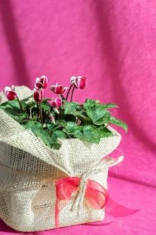 Fioletowy cyklamen persicum w doniczce zapakowany jako prezent z eko płótna i wstążki na fioletowym tle. cyclamen repandum