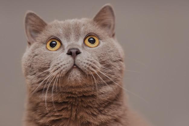 Fioletowy kot brytyjski. portret zwierzęcia.