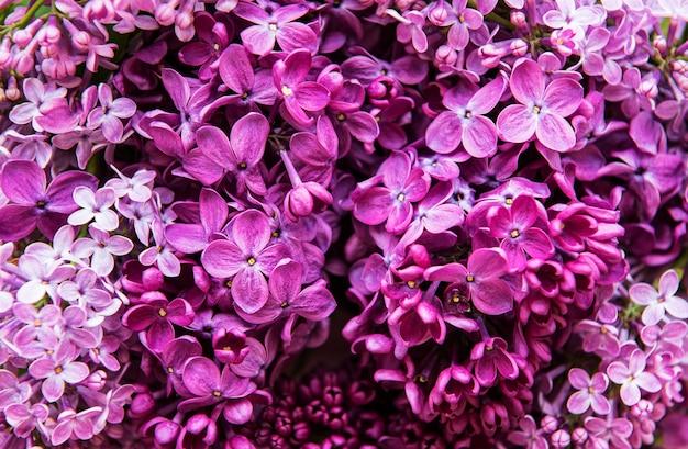 Fioletowy kwiat bzu tło lub organiczna naturalna tekstura