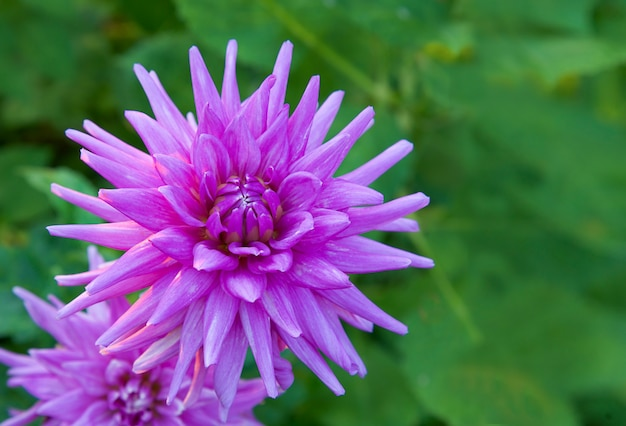 Fioletowy kwiat dalii na zielonym nieostrym tle