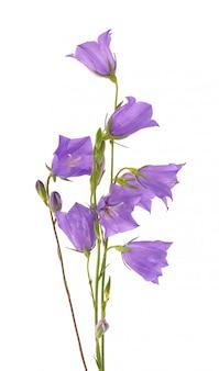Fioletowy kwiat dzwonka na białym tle